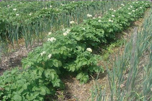 Нестационарные грядки хороши для посадок в поле однолетних растений. На дачном участке удобно иметь стационарные грядки. Такой подход упрощает выращивание различных культур и делает участок более ухоженным.